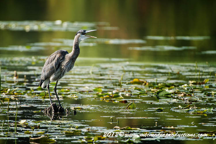 Blue Heron Picture-906