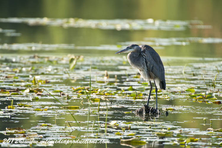 Blue Heron Picture-907
