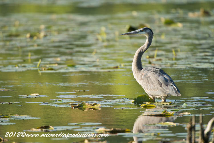 Blue Heron Picture-908