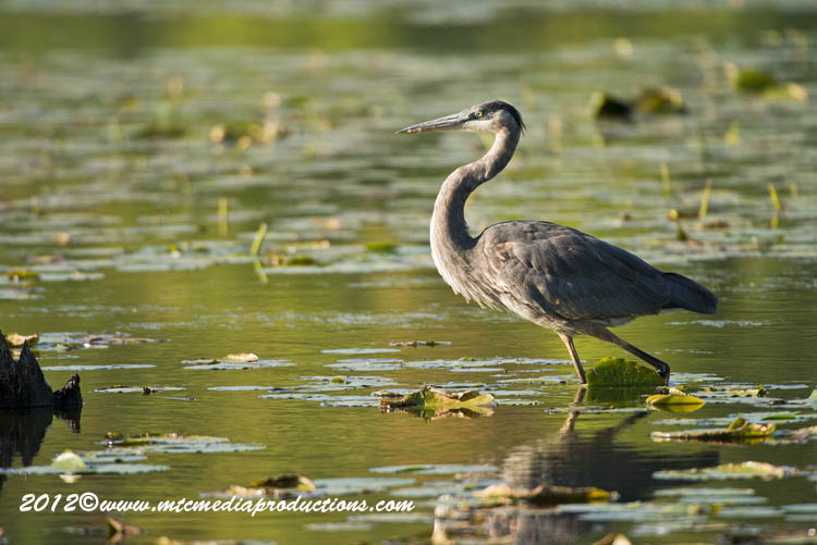 Blue Heron Picture-909