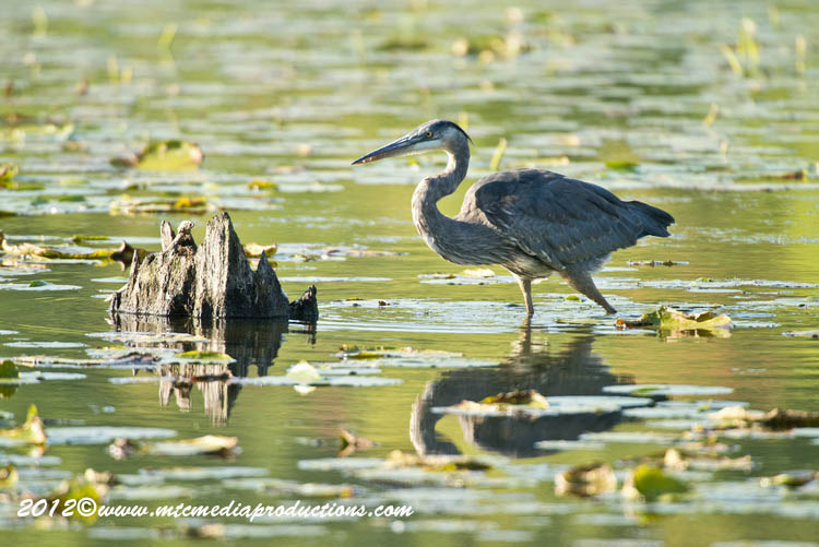 Blue Heron Picture-910