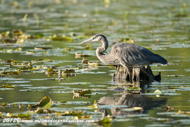 Blue Heron Picture-911