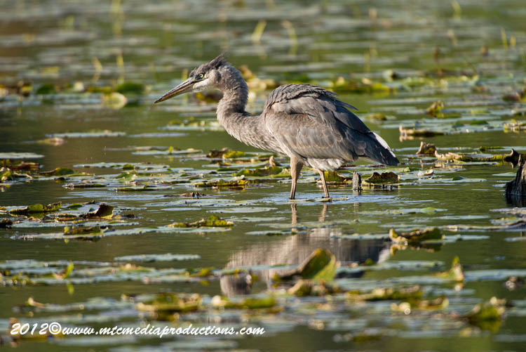 Blue Heron Picture-912