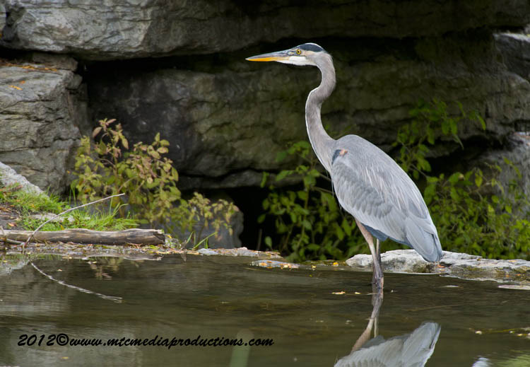 Blue Heron Picture-914