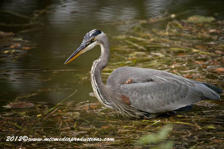 Blue Heron Picture-916
