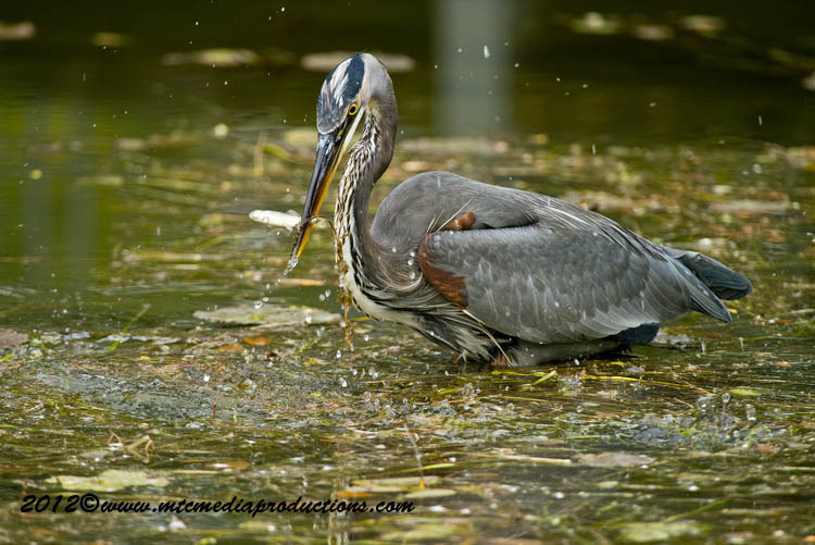 Blue Heron Picture-917