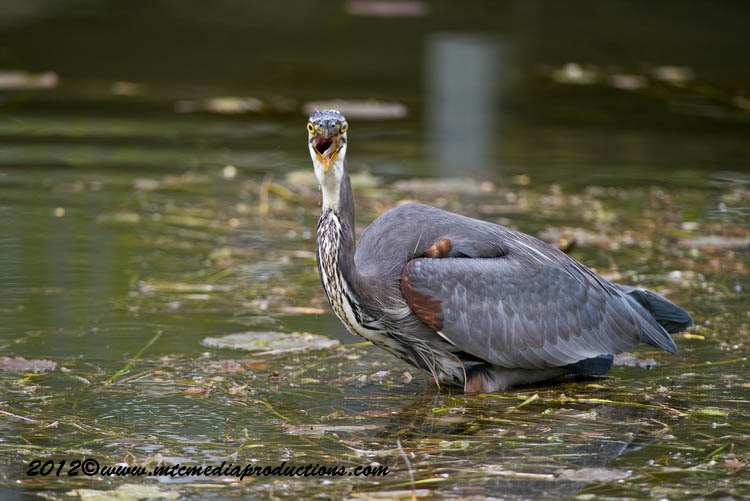 Blue Heron Picture-918