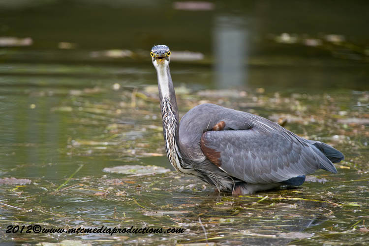 Blue Heron Picture-919