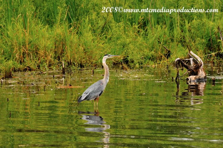 Blue Heron Picture-92