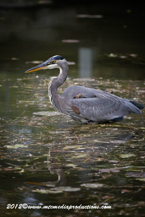 Blue Heron Picture-920