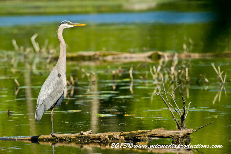 Blue Heron Picture-921
