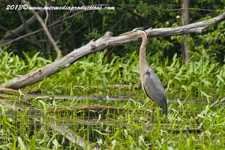 Blue Heron Picture-922