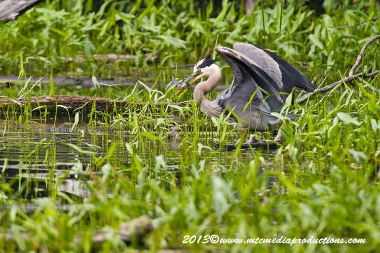 Blue Heron Picture-923