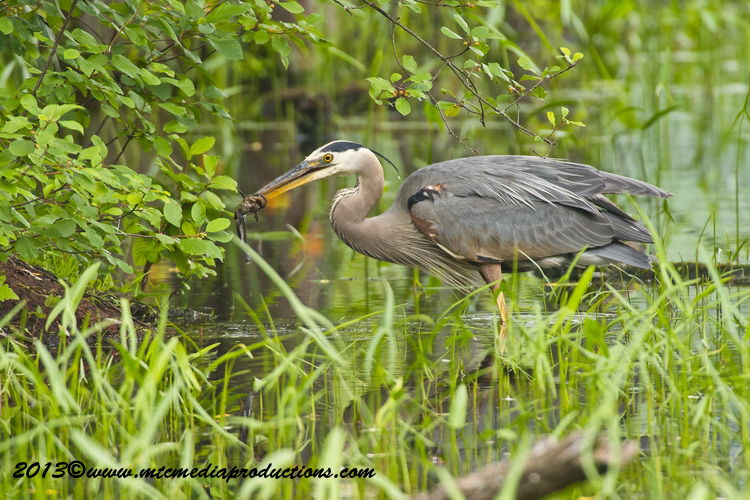 Blue Heron Picture-924