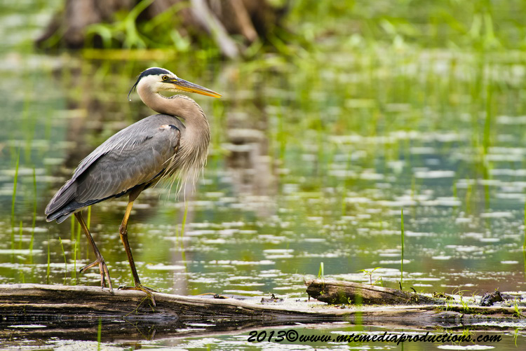 Blue Heron Picture-925