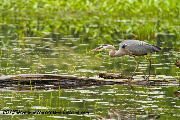 Blue Heron Picture-926