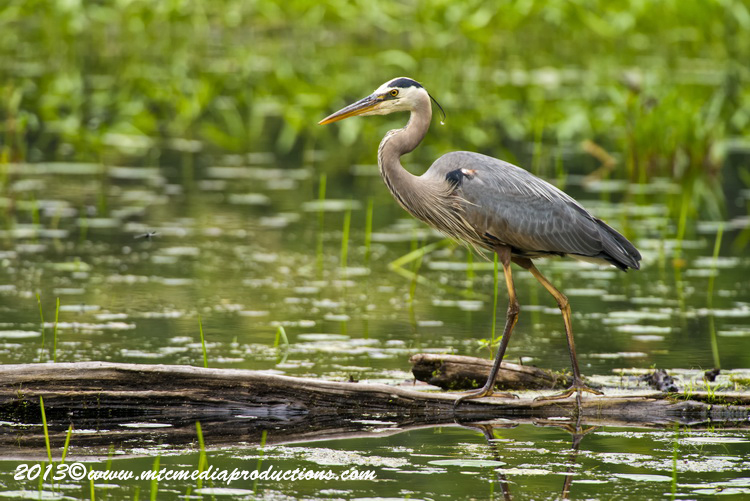 Blue Heron Picture-927