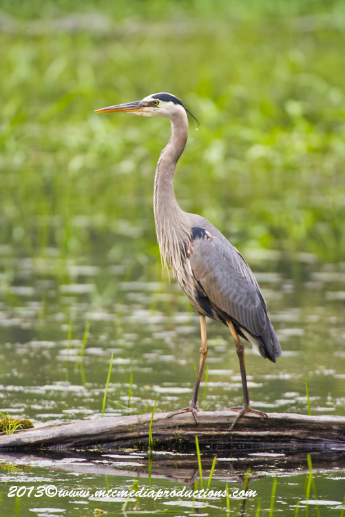 Blue Heron Picture-928
