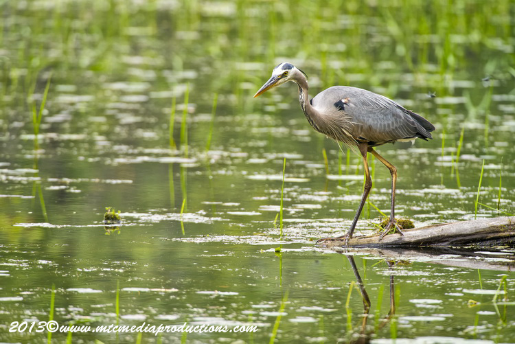 Blue Heron Picture-929