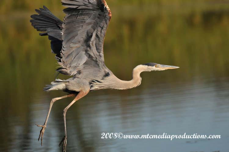 Blue Heron Picture-93