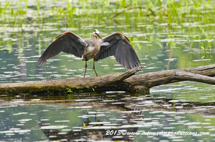 Blue Heron Picture-930