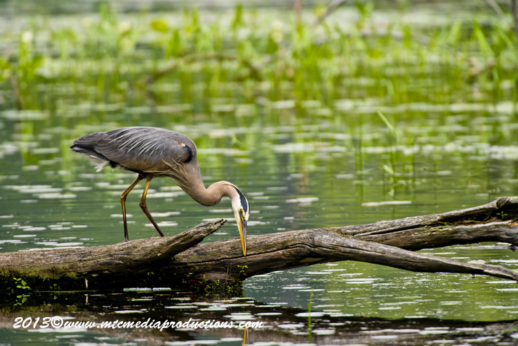 Blue Heron Picture-931