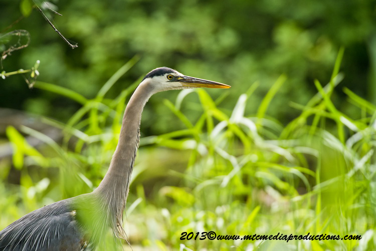 Blue Heron Picture-932