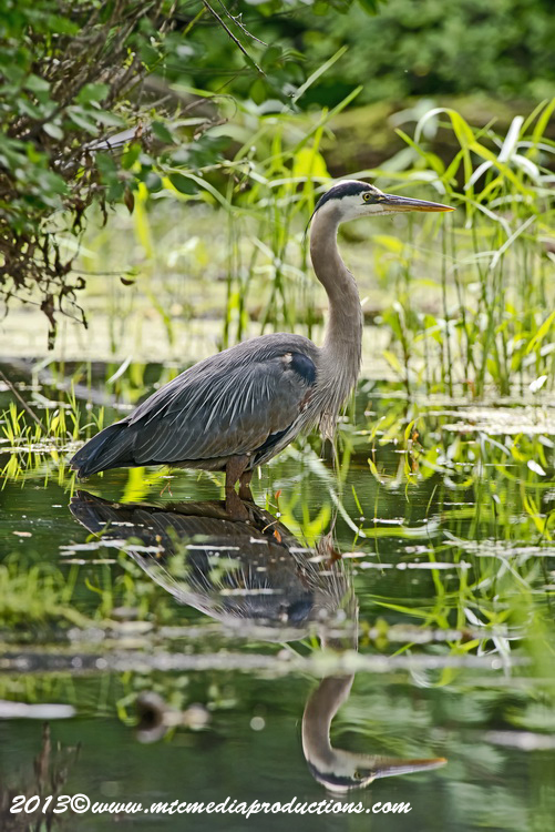 Blue Heron Picture-933