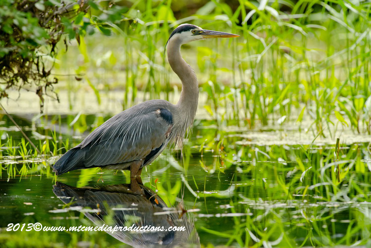 Blue Heron Picture-934