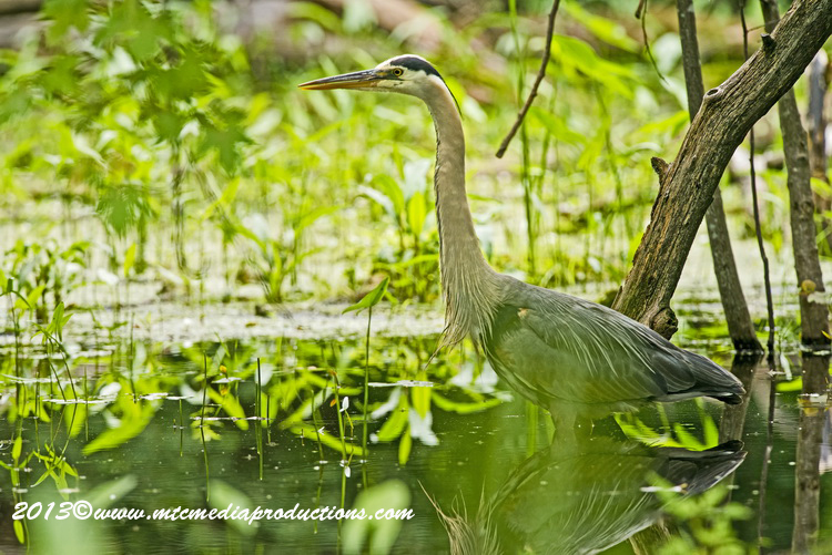 Blue Heron Picture-935