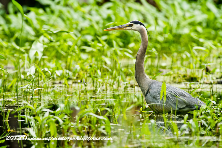 Blue Heron Picture-936