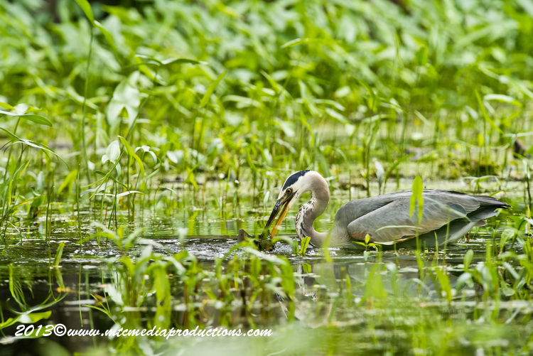 Blue Heron Picture-937