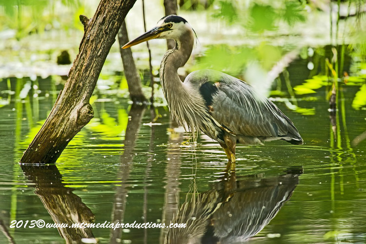 Blue Heron Picture-939