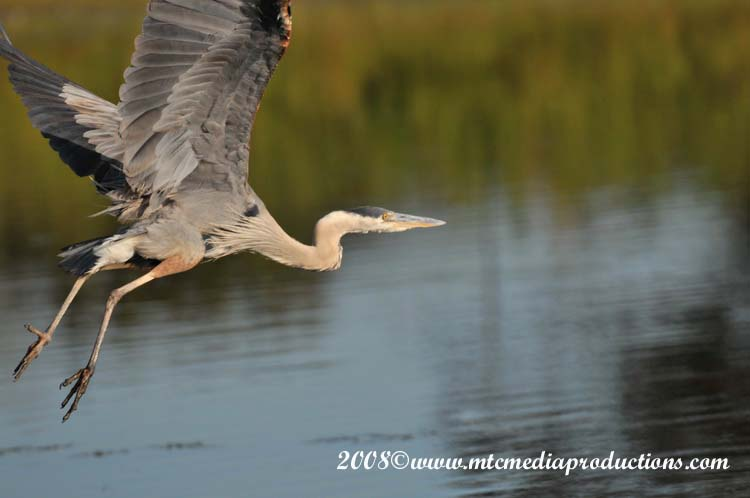 Blue Heron Picture-94