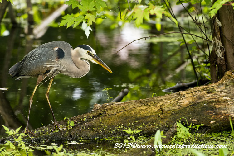 Blue Heron Picture-940