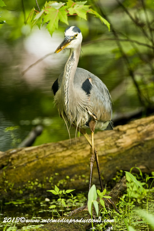 Blue Heron Picture-941