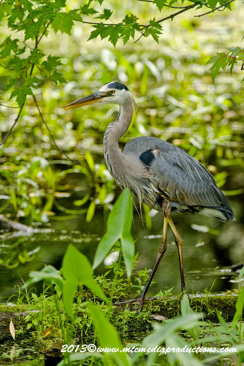 Blue Heron Picture-944