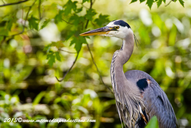 Blue Heron Picture-946