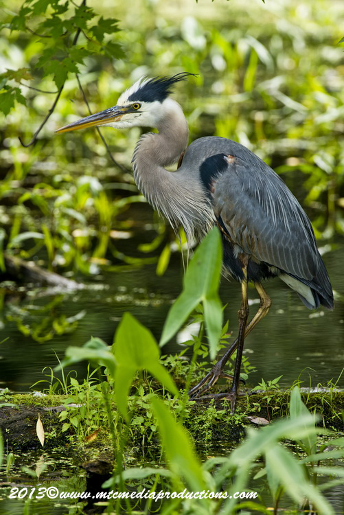Blue Heron Picture-947