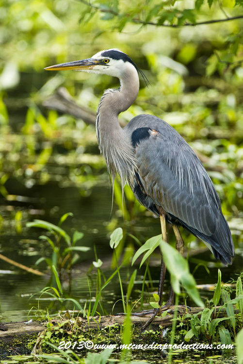 Blue Heron Picture-948