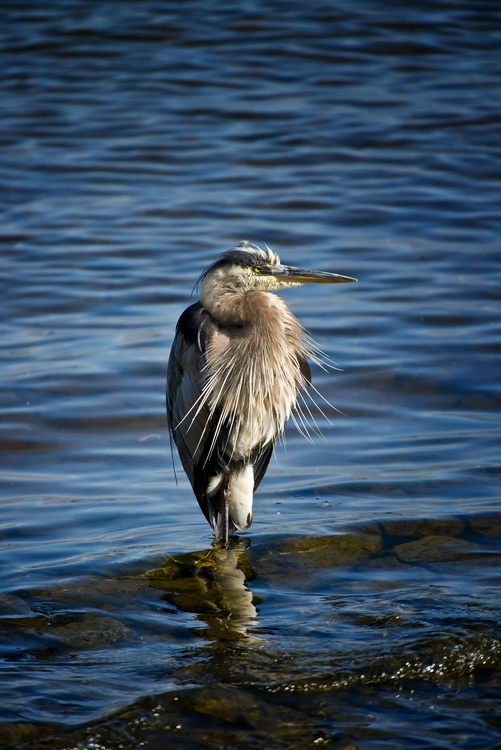 Blue Heron Picture-949