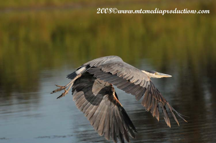 Blue Heron Picture-95