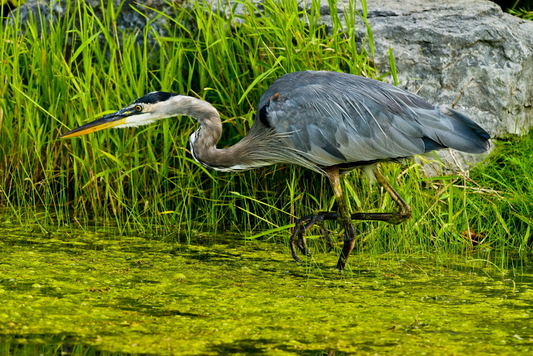 Blue Heron Picture-953