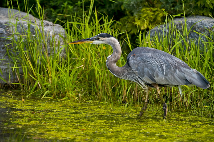 Blue Heron Picture-954