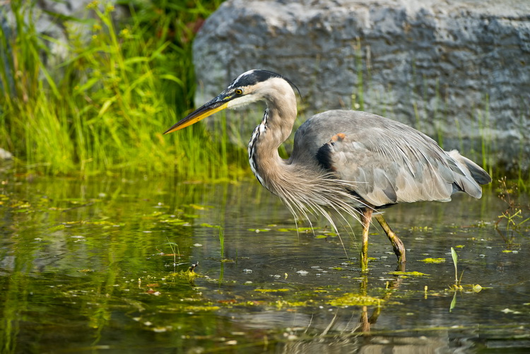 Blue Heron Picture-955