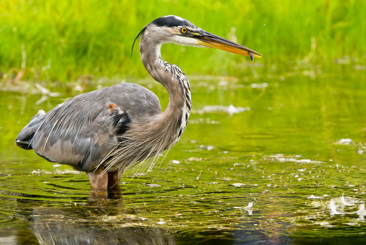 Blue Heron Picture-959