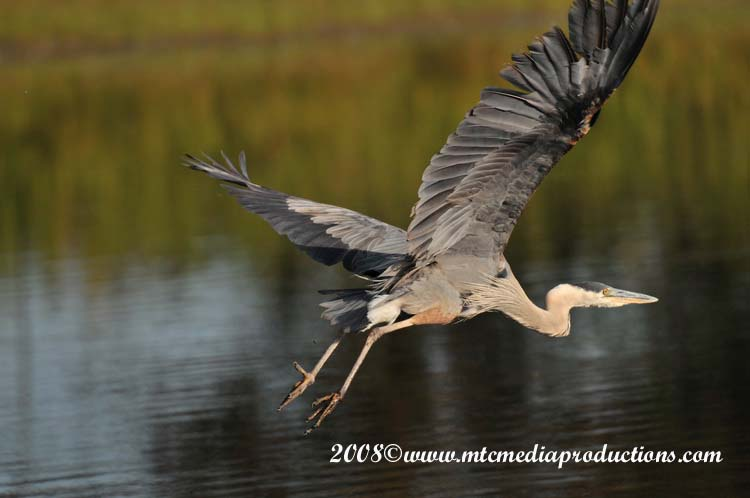 Blue Heron Picture-96