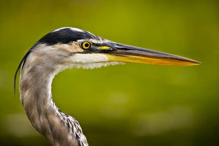 Blue Heron Picture-960