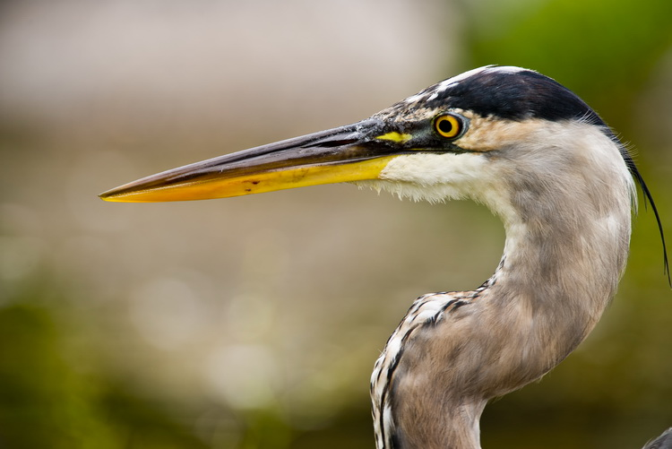 Blue Heron Picture-961