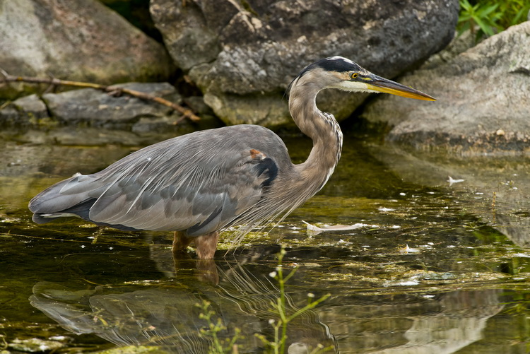 Blue Heron Picture-962
